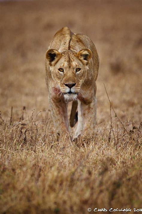 kaos spirit animal rt295 best 25 ideas on and lioness