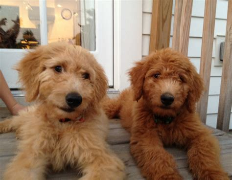 goldendoodle hair a brief update what every home needs gather
