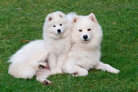 baby puppy wallpaper samoyed dogs canine baby puppy wallpaper 2402x1602 766816 wallpaperup
