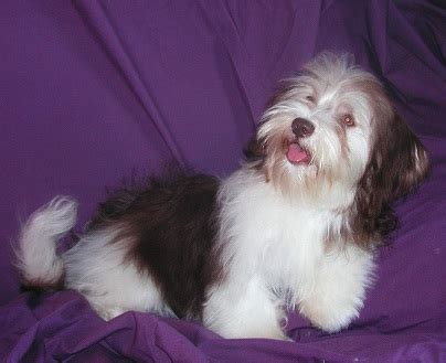 havanese eye problems havanese dogs the best partner for