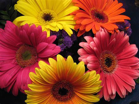 imagenes flores gerberas tipos de flores las gerberas