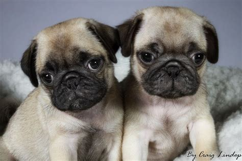 pug backgrounds for desktop pug puppies for sale 55 desktop wallpaper dogbreedswallpapers