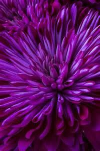 purple mums flowers pinterest