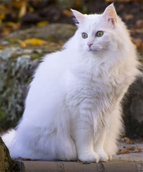 Ankara Kedisi Karakteri   Kedi