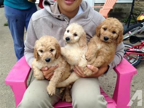 mini doodle puppies mn mini goldendoodle puppies for adoption 6 weeks