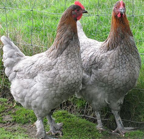 marans  french chicken shed