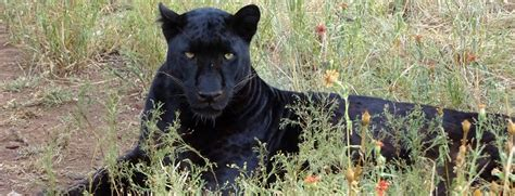 Black Leopard leopards holding on by a claw