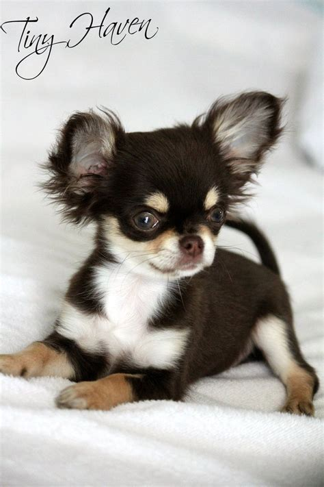 buy chihuahua puppies 1000 ideas about chihuahua puppies on teacup chihuahua puppies teacup