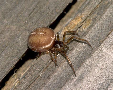 Garden Spider Brown Garden Spiders