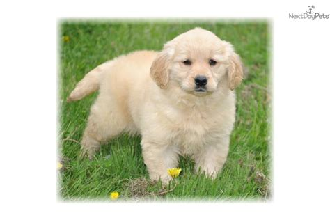 golden retriever puppies massachusetts sale meet jewels a golden retriever puppy for sale for