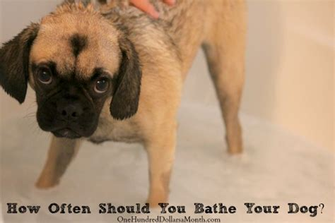 how often should i bathe my puppy the puggle archives one hundred dollars a month