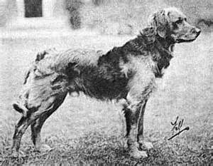 history of the golden retriever golden retrievers and dogs of the tweedmouth strain from the early twentieth century