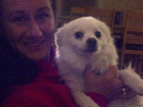 pomsky puppies for sale in nc 17 best ideas about pomsky puppies for sale on pomsky for sale