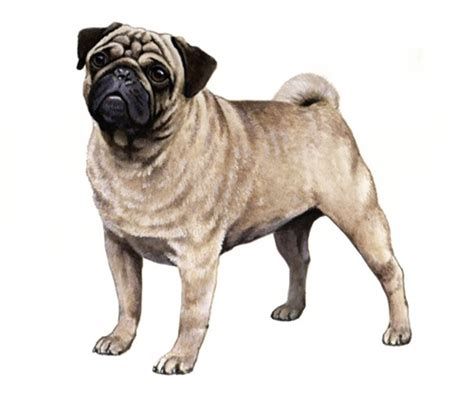 average weight of a pug pug wisdom panel