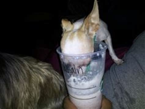 starbucks puppy cup 1000 images about starbucks not just for on starbucks coffee and