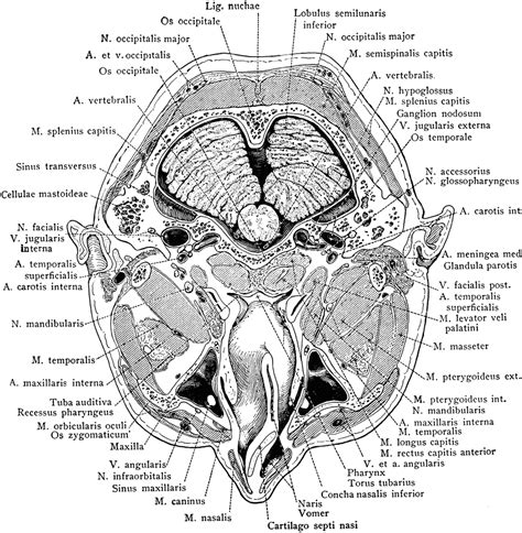 cross section of head cross section of head through the nasopharynx clipart etc