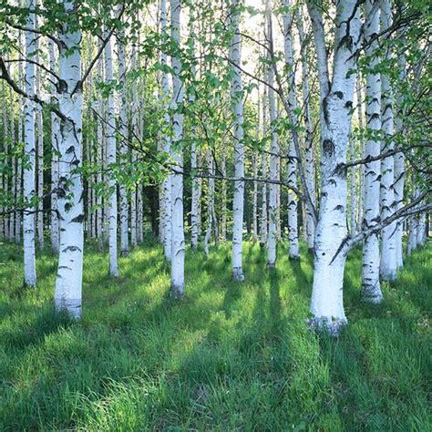 Alberi Sempreverdi A Crescita Rapida alberi a crescita rapida alberi tipologie di alberi a