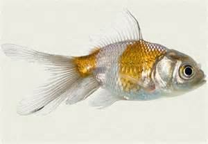 Blue Oranda Fancy Goldfish   Tropicali