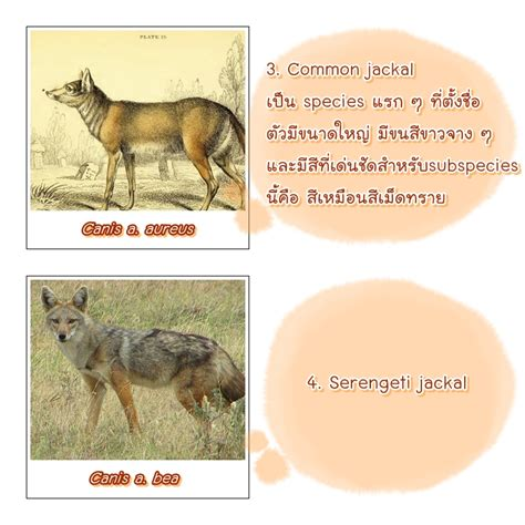 what animal are you golgen jackal