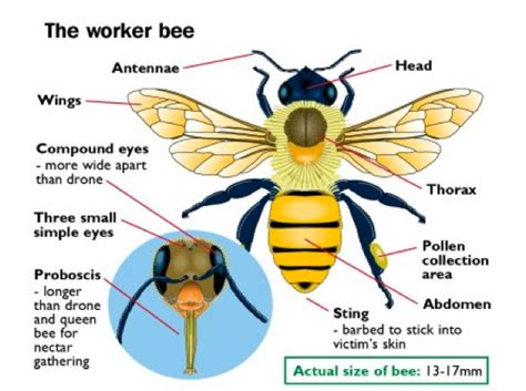 bumble bee diagram the lions times types of bees in pyrenees