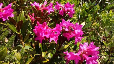 piante e fiori di montagna 171 piante e fiori di montagna 187