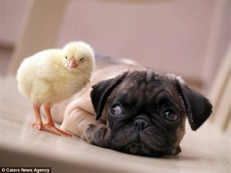 pug fugly fugly the pug and kfc the are an inseparable pair daily mail