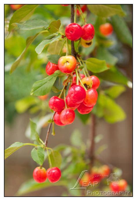 cherry tree jams cherry jam home canning boise food photographer leap photography