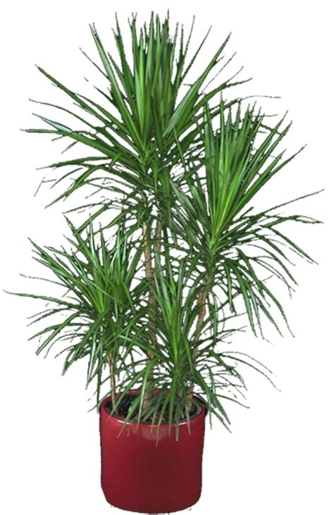 buy house plants now dracaena marginata green bakker com dracaena marginata shop dracaena marginata green braid in