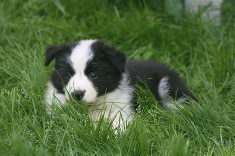 border collie puppies border collie herding crafts