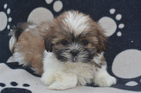 size of shih tzu shih tzu puppy breeds picture