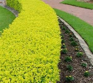 cuban gold duranta bright yellow green color this
