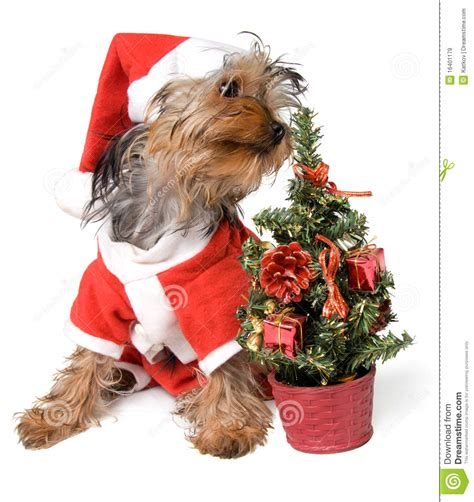 xmas tree with yorkies yorkie royalty free stock images image 16401179