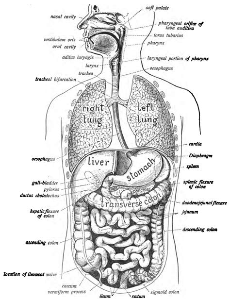 digestive problems after c section human digestive system wikipedia