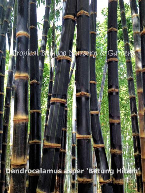 Hitam Mamboo tropical bamboo nursery gardens plantant