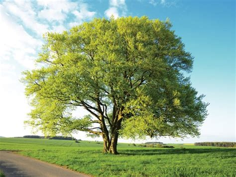 common beech native trees british trees learn the