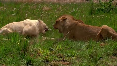 film white lion 2010 download white lion 2010 yify torrent for 720p mp4 movie