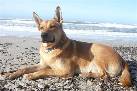 dingo puppies for sale carolina puppies for sale from reputable breeders