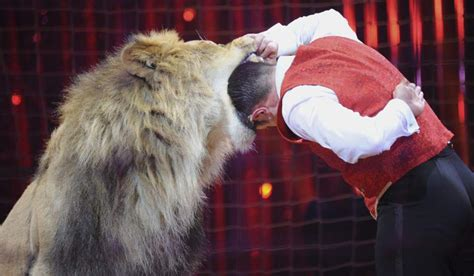 el domador de leones 8416087407 el domador de un circo atacado por un tigre durante una funci 243 n en madrid