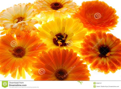 beautiful orange beautiful orange flowers stock image image of isolated
