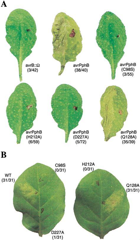 h protein define a yersinia effector and a pseudomonas avirulence protein
