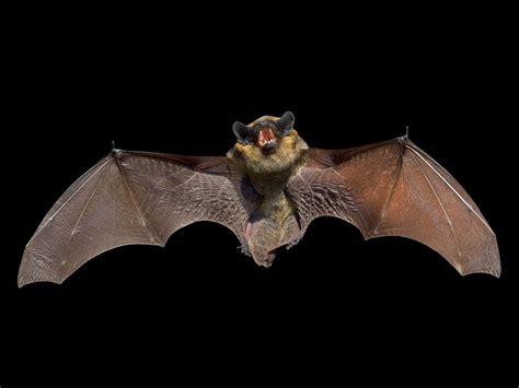 bat symbolism bat spirit animal wild gratitude