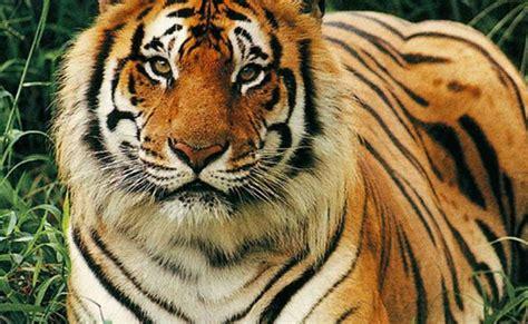wallpaper harimau hitam keanekaragaman satwa harimau