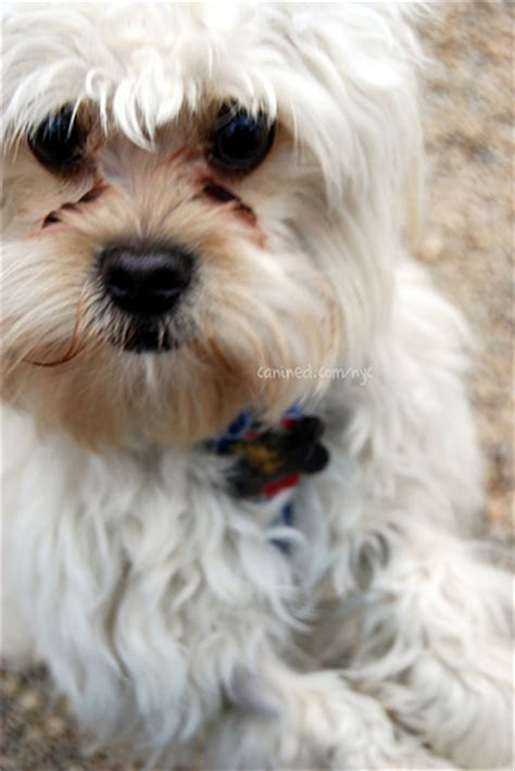 havanese mix breeds canined white havanese mix breed hybrid mutt us 030109 23 flickr photo