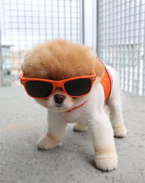 boo the puppy fotos de cachorros lindos fofos e filhotes para imprimir 10 quotes