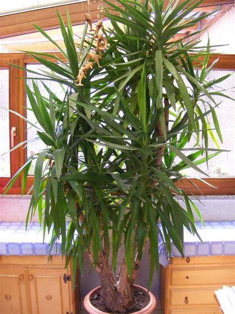 yucca palme schlafzimmer yucca palme schneiden yucca palme vermehren yucca palme