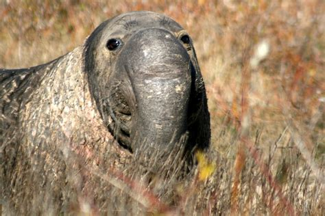 Funny Animals: Male Elephant Seals
