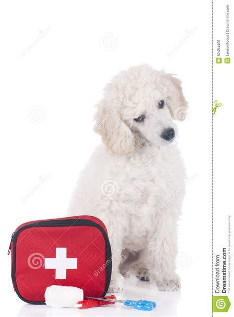 emergency puppy white poodle puppy with emergency kit stock photo image 52454405