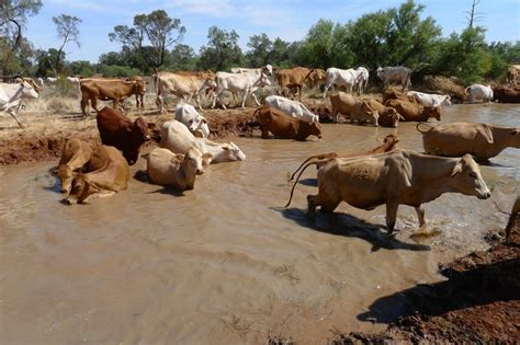 australian cattle cowboys for rookie cowboys snakes and aches driving cattle on the