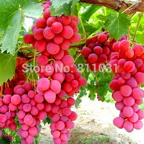grapes fruit tree aliexpress buy selling 20pcs lot species