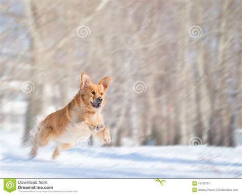 golden retriever jumping jump of golden retriever with motion blur stock image image 16197701